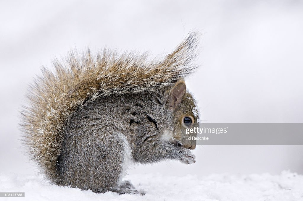 Eastern Gray Squirrel (Sciurus carolinensis) in winter snow with protective posture of tail Michigan, USA : Stock Photo