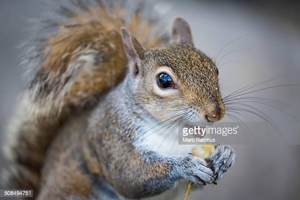 Eastern Gray Squirrel or Grey Squirrel -Sciurus carolinensis- feeding, Louisiana, United States