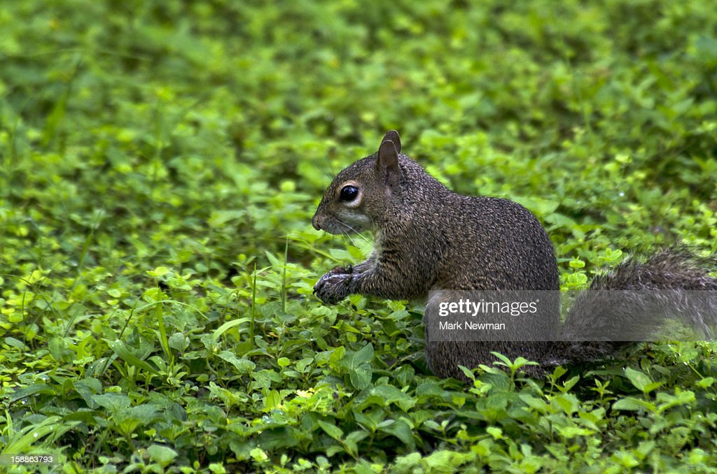 Eastern gray squirrel,sitting,greenery : Stock Photo