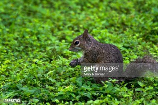 Eastern gray squirrel,sitting,greenery : Foto de stock