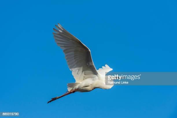 Eastern Great Egret, Ardea alba modesta, in Flight, Rockhampton, Queensland, Australia