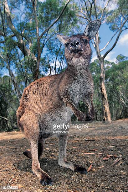 Eastern Grey Kangaroo (Macropus giganteus), Kangaroo Island, Victoria, Australia