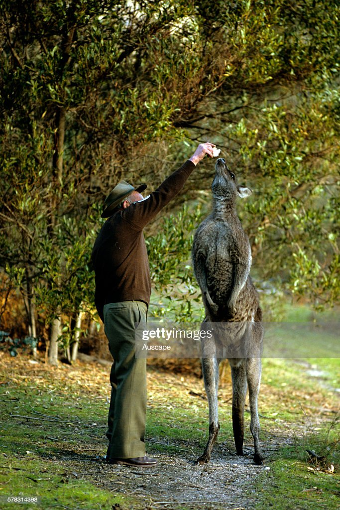 Eastern grey kangaroo Macropus giganteus and ranger making it stretch high for food Tidbinbilla Nature Reserve Australian Capital Territory Australia