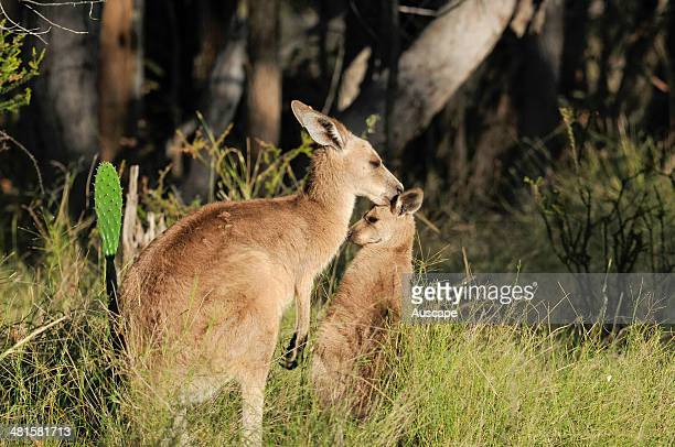 Eastern grey kangaroo Macropus giganteus mother grooming her joey at foot probably to remove parasitic ticks as seen on her own ear in varied and...