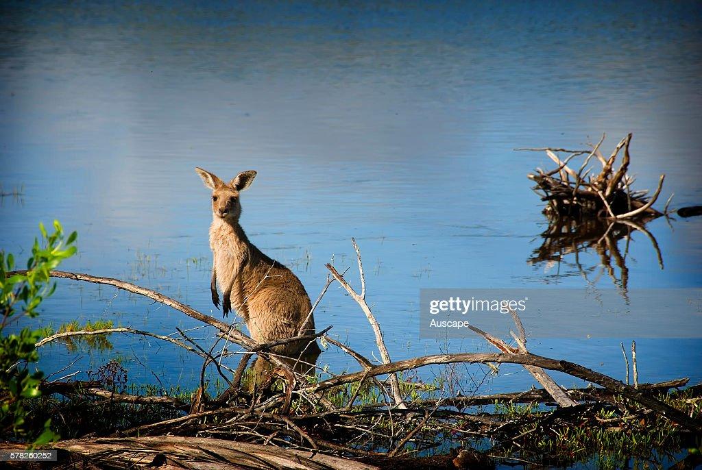 Eastern grey kangaroo Macropus giganteus on Woodgate Beach Burrum Coast National Park Queensland Australia