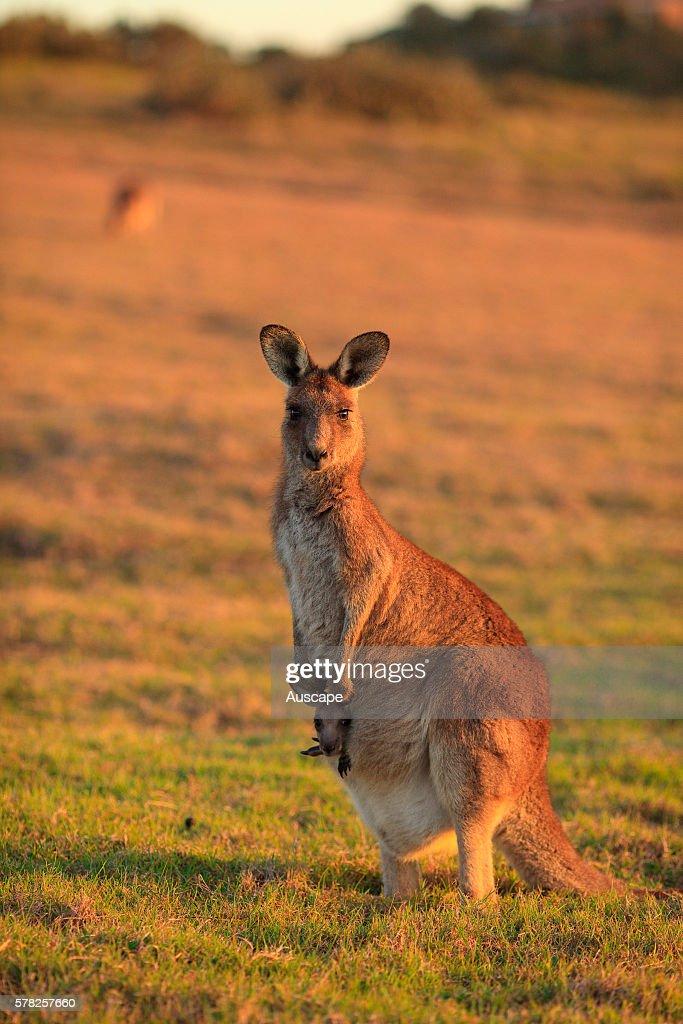 Eastern grey kangaroo Macropus giganteus with joey in pouch Coffs Harbor New South Wales Australia