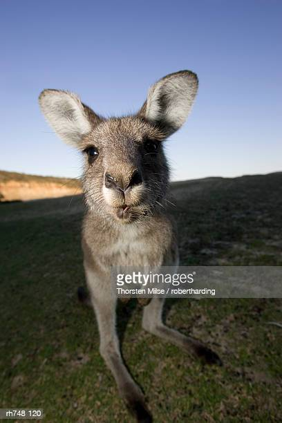 Eastern Grey Kangaroo, (Macropus giganteus), Pebbly Beach, Marramarang N.P., New South Wales, Australia