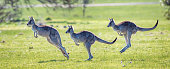 Eastern Grey Kangaroo showing bounding hopping action