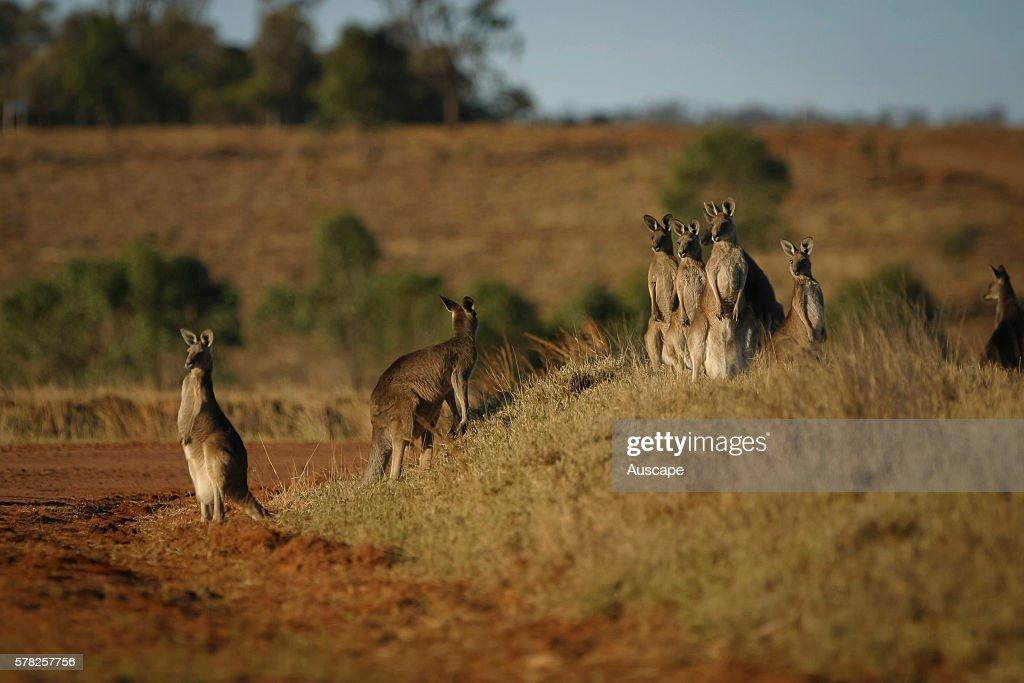 Eastern grey kangaroos Macropus giganteus group eyeing some risk out of the frame Longreach Queensland Australia