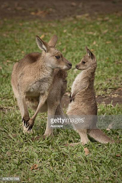 Eastern grey kangaroos Macropus giganteus mother and joey out of the pouch playing Sunshine Coast Queensland Australia