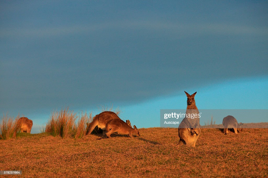 Eastern grey kangaroos Macropus giganteus on a headland where the increase in their numbers may lead to risks to visitors Emerald Beach Coffs Harbor...