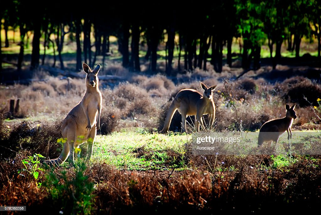 Eastern grey kangaroos Macropus giganteus two adults and a young animal grazing Lake Nuga Nuga National Park Central Queensland Australia