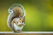 Eastern Grey Squirrel (Sciurus carolinensis) in the nature, fresh green grass background