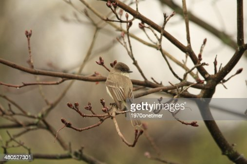 Eastern Phoebe : Stock Photo