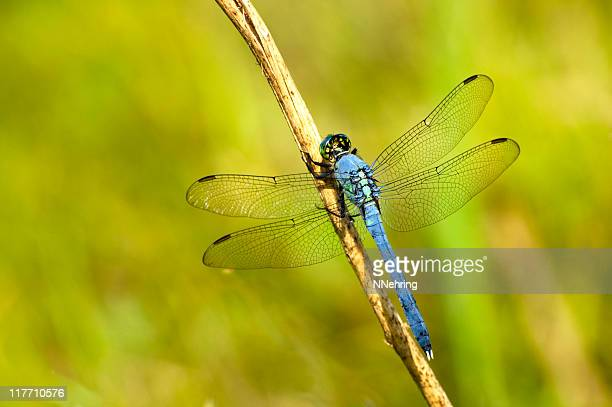 Eastern pondhawk, Erythemis simplicicollis, Libelle
