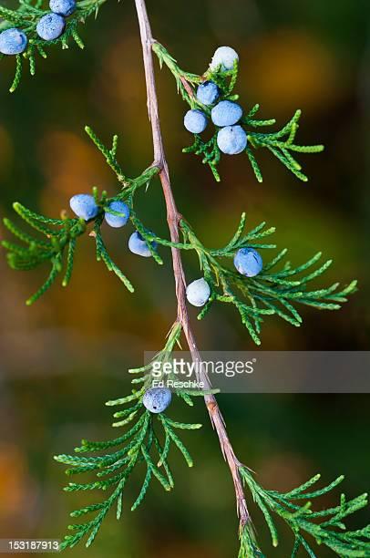 Eastern Redcedar with Juniper Berries