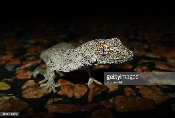 Eastern spiny-tailed gecko (Strophurus williamsii)