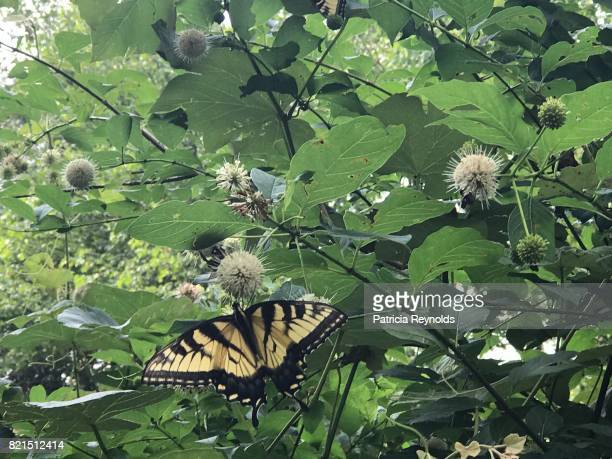 Eastern Tiger Swallowtail Butterfly displays its yellow and black colors in front of white spiky ball plant and bright green leaves.