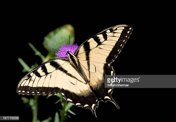 Eastern Tiger Swallowtail Butterfly Isolated on Black