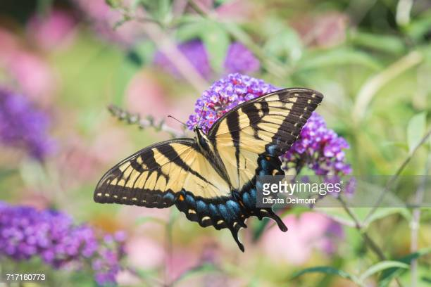 Eastern Tiger Swallowtail Butterfly (Papilio glaucus) on Butterfly Bush (Buddleia davidii), Marion County, Illinois, USA