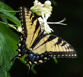 Eastern tiger swallowtail butterfly on flower