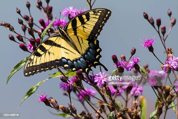 Eastern Tiger Swallowtail Butterfly on Ironweed