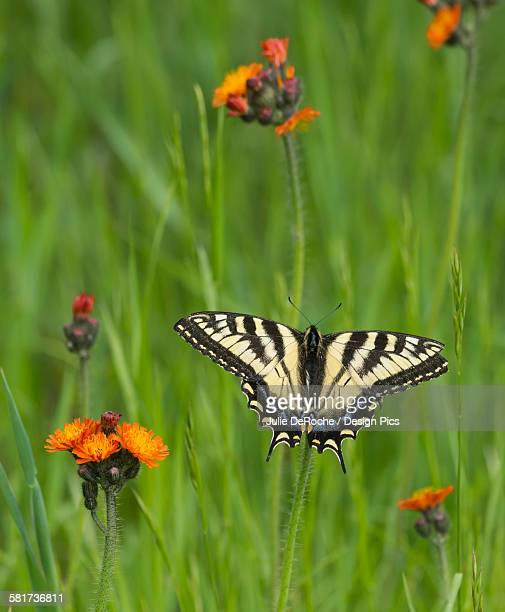Eastern tiger swallowtail (Papilio glaucus) butterfly resting on flowers