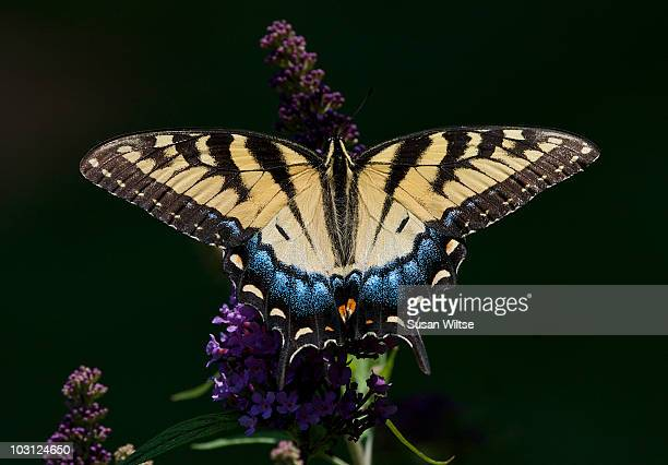 Eastern Tiger Swallowtail Butterfly-Full Top
