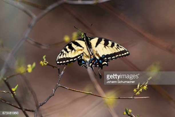 Eastern tiger swallowtail in early spring