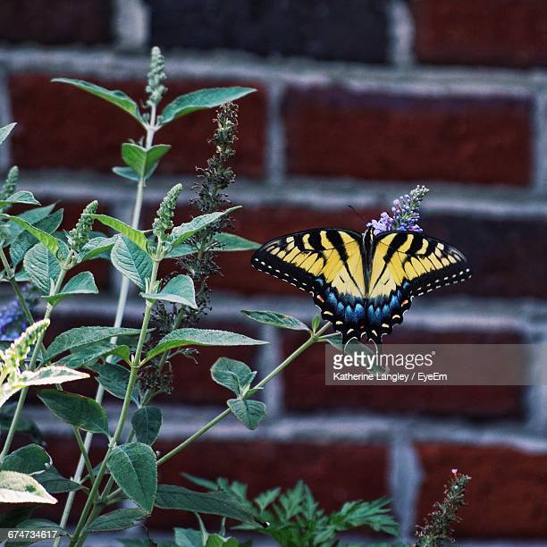 Eastern Tiger Swallowtail On Plant Against Brick Wall