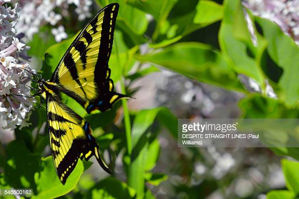(Papilio Glaucus)- Eastern Tiger Swallowtail