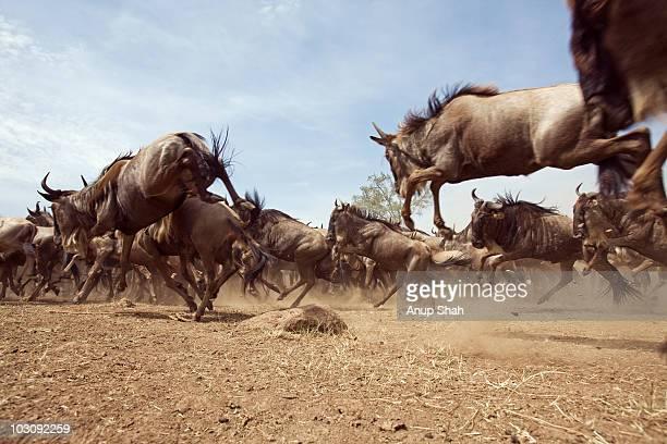 Eastern White-bearded Wildebeest herd running