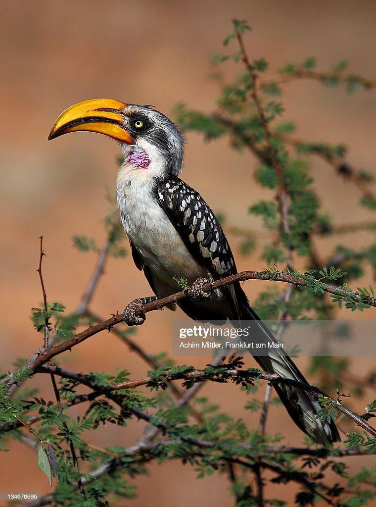 Eastern Yellow-Billed Hornbill on green acacia : Stock Photo