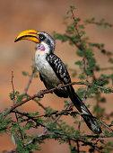 Eastern Yellow-Billed Hornbill on green acacia
