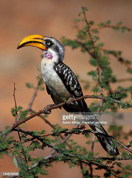 Eastern Yellow-Billed Hornbill on green acacia