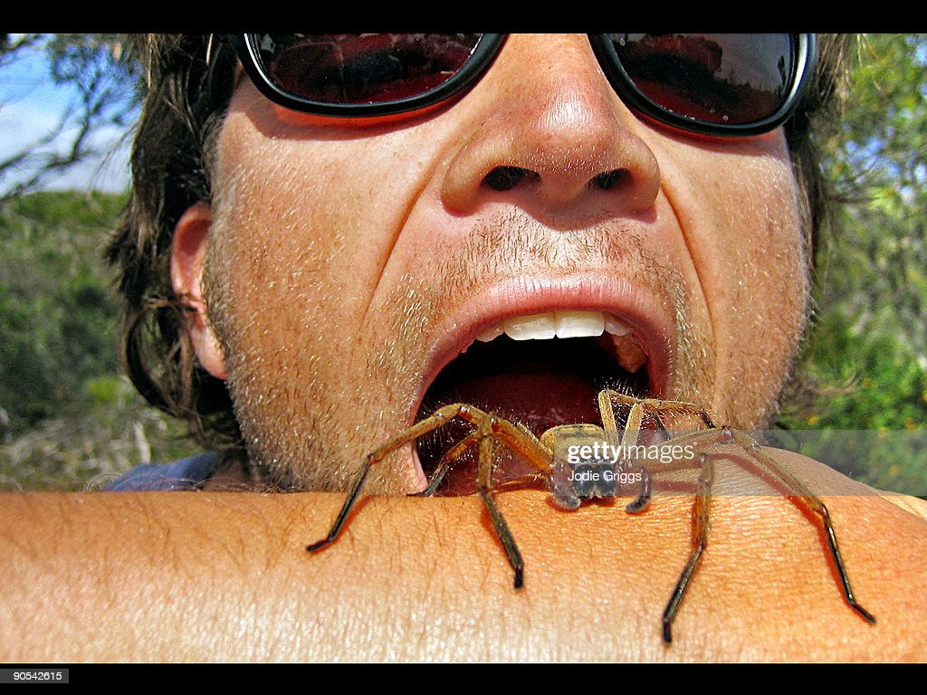 Eating a Huntsman Spider : Stock Photo