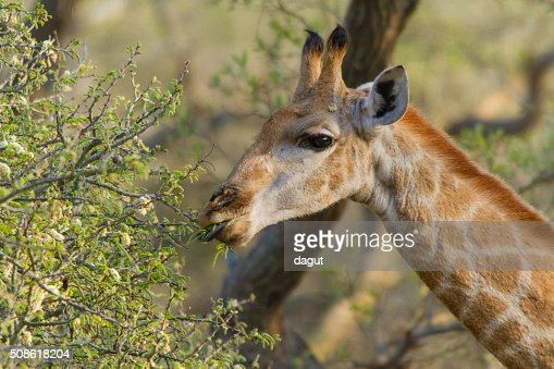 Eating giraffe : Stock Photo