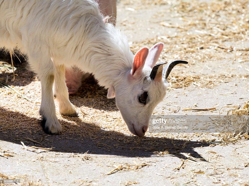 Eating goat breeding