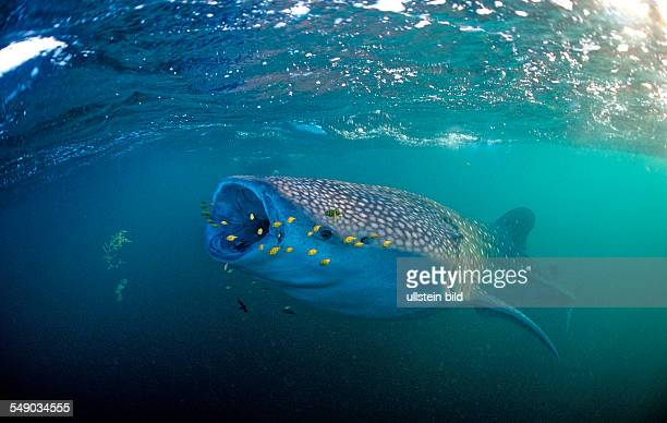 Eating Whale shark with yellow Pilot fishes Rhincodon thypus Djibouti Djibuti Africa Afar Triangle Gulf of Aden Gulf of Tadjourah
