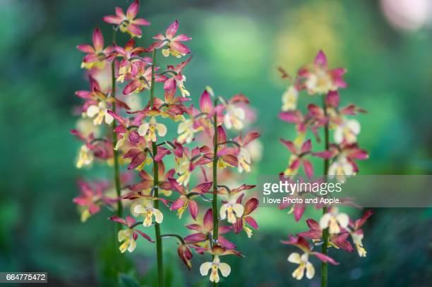 Ebine Japanese orchid