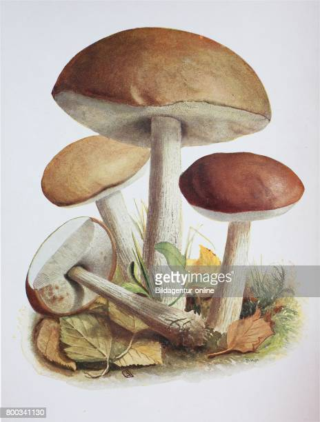 Eccinum scabrum commonly known as the roughstemmed bolete scaber stalk and birch bolete is an edible mushroom in the family Boletaceae and was...