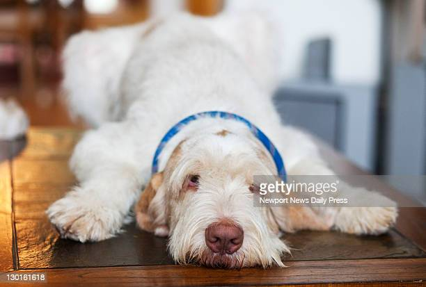 Ecco D'Oro a Spinone Italiano has more than 4700 fans on Facebook and raises funds for animal welfare He is shown at home in Smithfield Virginia on...