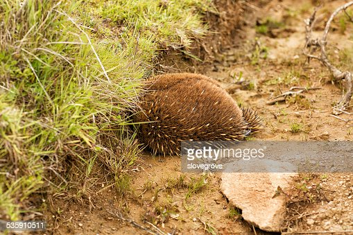 Echidna burrowing for protection : Stock Photo