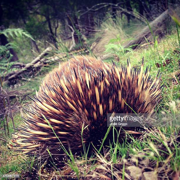 Echidna in the wild burying its head beneath body