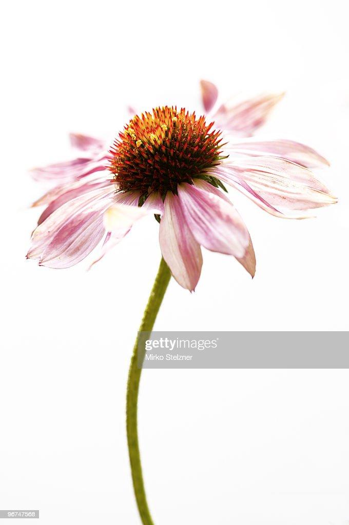 Echinacea flower (Echinacea purpurea)