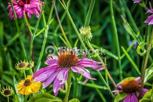 Echinacea Flowers : Stock Photo