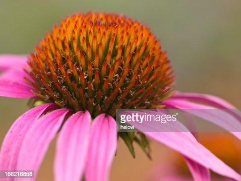 Echinacea : Stock Photo