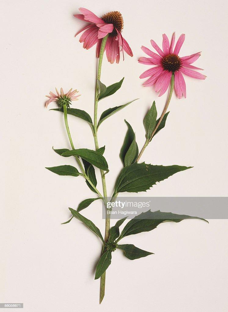 Echinacea plant in bloom