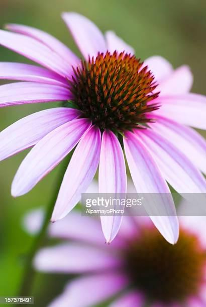 Sonnenhut-Pflanzengattung purpurea-VII