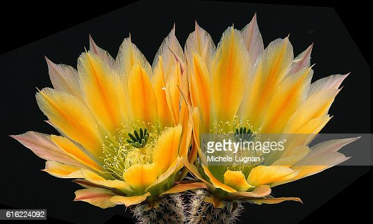 Echinocereus ctenoides : Stock Photo